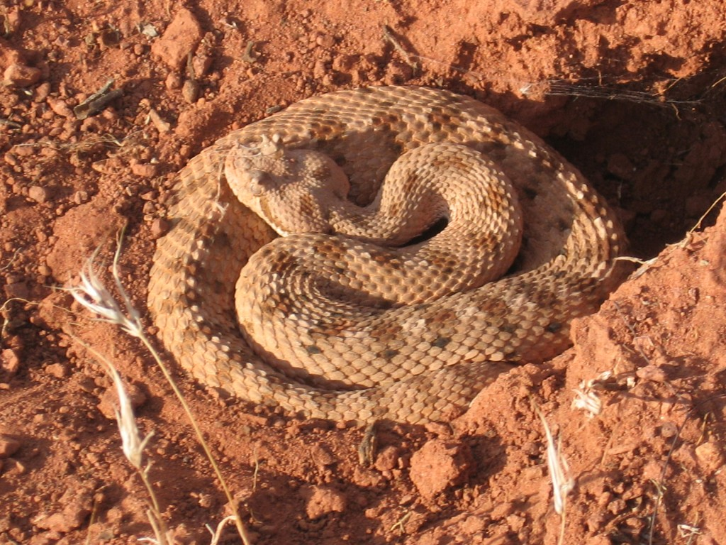 sidewinder rattlesnake on Bear Claw Poppy trail