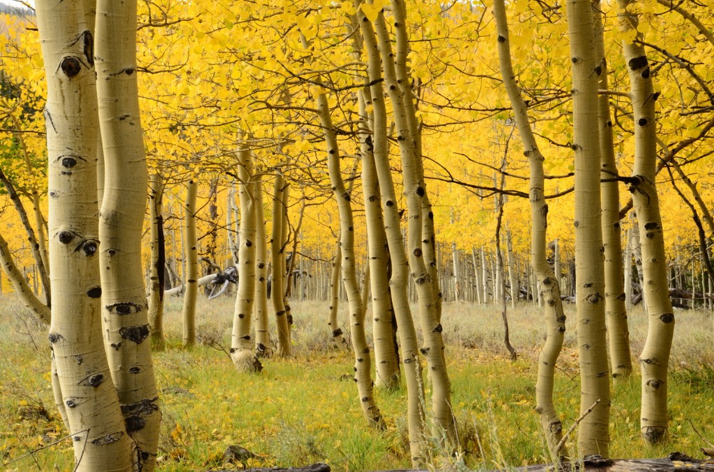 Aspens trees near Brian Head