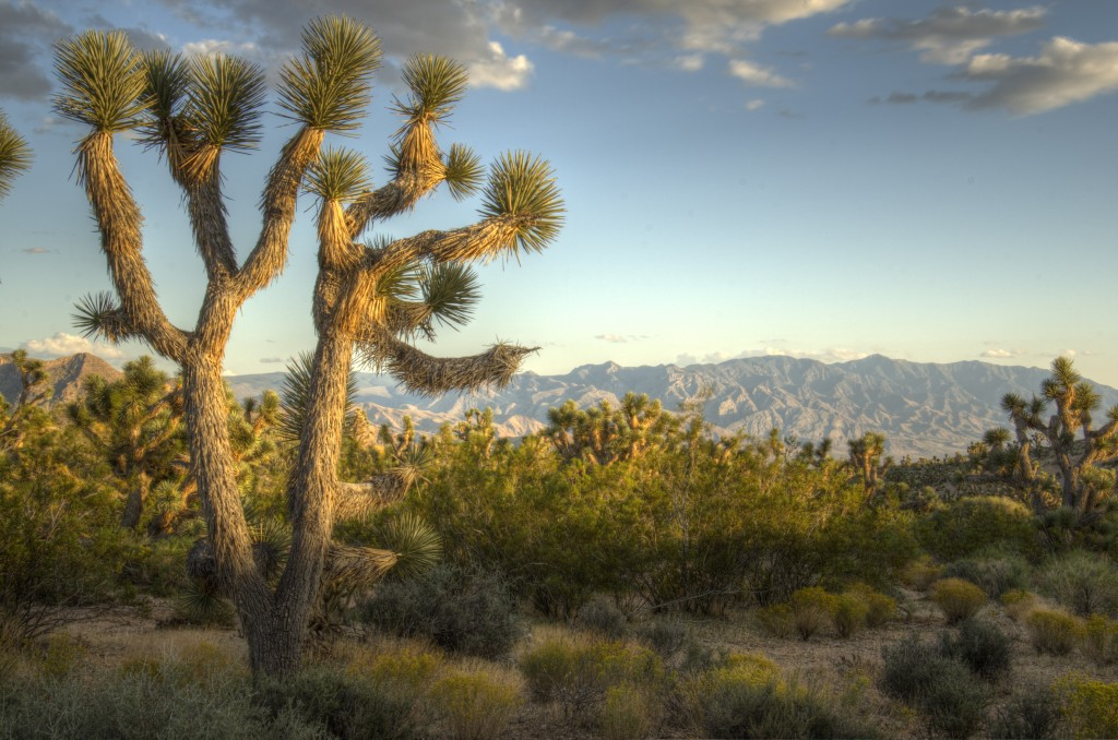 Joshua trees in the mojave
